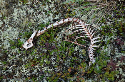 Skeleton out in the Tundra