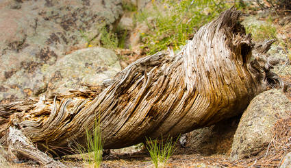 Twisty Log