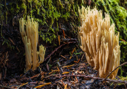 Coral Mushrooms