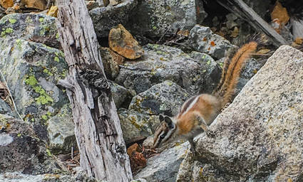 Guard Chipmunk